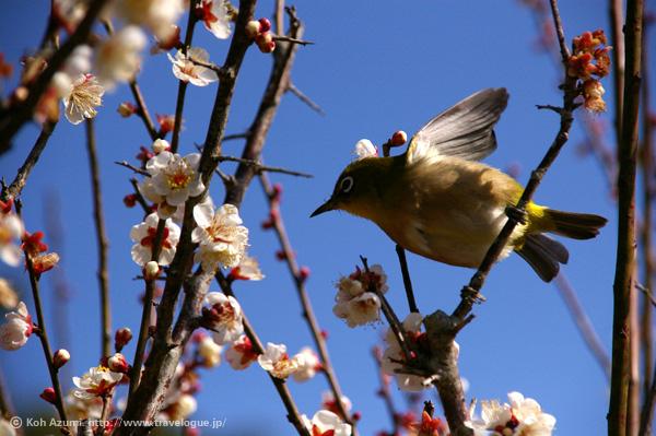 梅の花と鶯(うぐいす)
