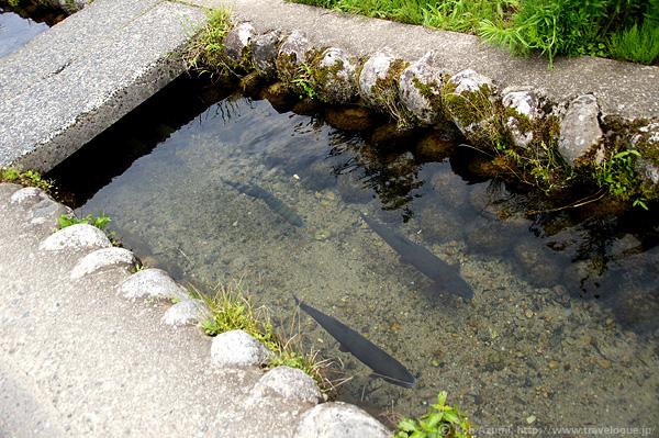 側溝を泳いでいた魚
