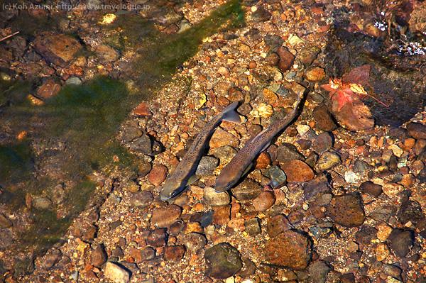 戸隠の清流を泳ぐ魚